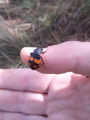 Burying beetle of some kind