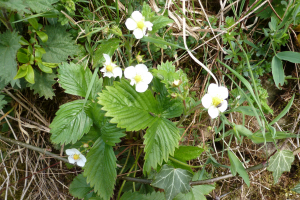 Wild strawberry, Stanegate