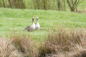 Greylag geese with goslings