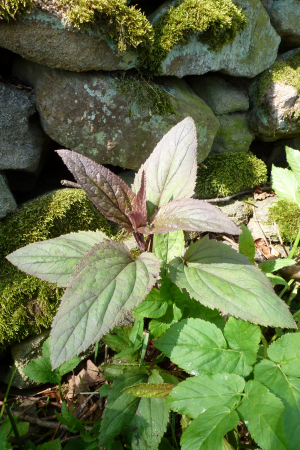 Unidentified Red-leaved Plant