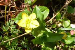 Yellow Flower, North Wood