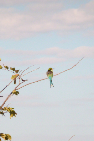 Little Bee-eater, Okavango Delta