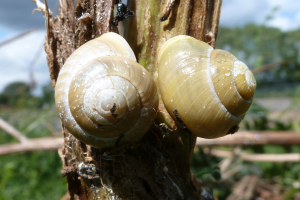 Snails on Giant Hogweed