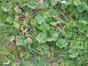 Common mallow found at Landguard Point