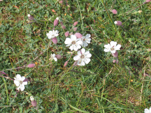 Sea Campion found at Landguard Common