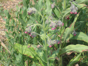 Comfrey found at Landguard Common