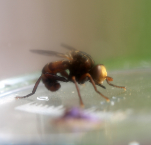 Conopid or Thick-headed fly?