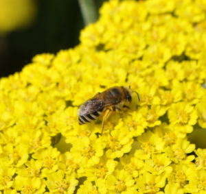 Colletes bee?