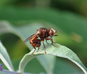 Conopid or Thick-headed fly (Sicus ferrugineus)