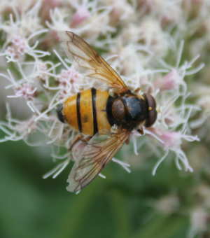 Volucella inanis or zonaria?