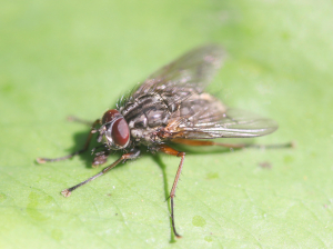 Tachinid Fly ?