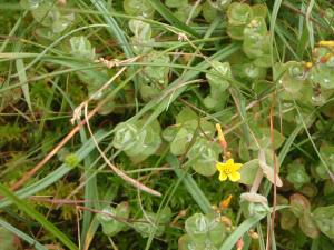 Marsh St John's wort on Dartmoor