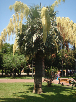 Palm in park in Antibes