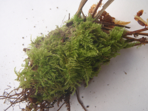 Common moss on bank