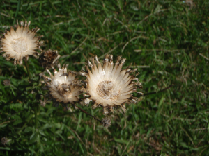 Not Carline thistle