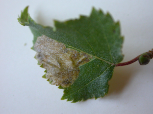 Leaf mining insect