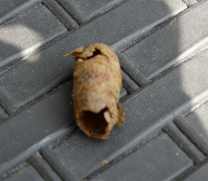 Pupal case of something?
