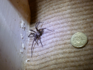 Big spider in my house