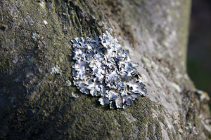 Foliose Lichens found on tree in cemetery