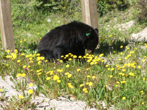 Black bear Spotted by roadside in Alberta, Canada
