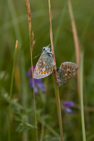 Is it a common blue?