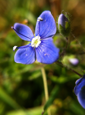 small violet flower