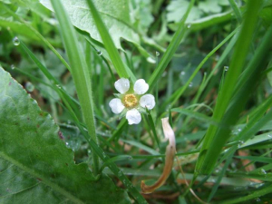 Barren Strawberry