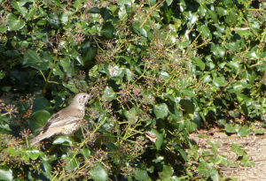 Mistle Thrush on Ivy