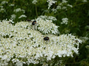 Noon fly? on Hogweed
