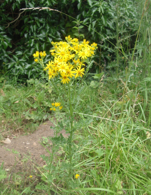 Which ragwort is this?