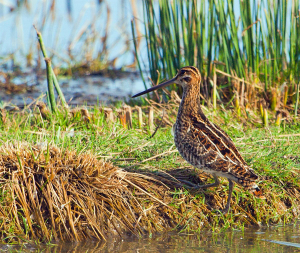 Beautiful Snipe