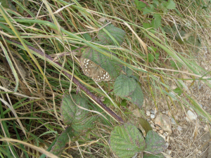 Speckled Wood, female