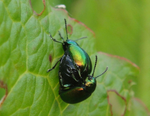 Pair of beetles