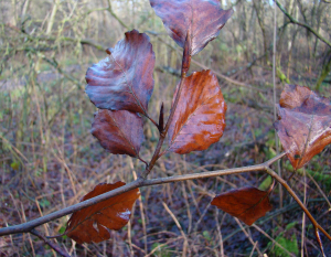 Beech leaves and bud