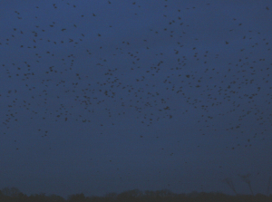 Rook Roost