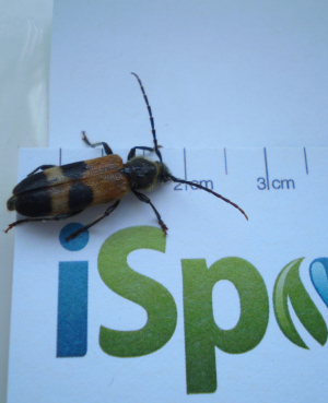 Unidentified longhorn beetle
