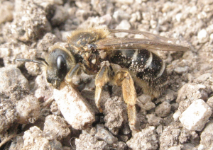 Mining bee. One of the Andrena, maybe?
