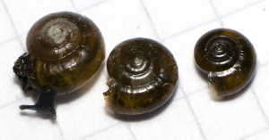 Glass snails