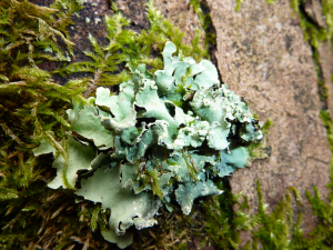 foliose lichen on tree trunk