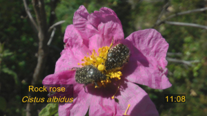Spotted beetles on a Rock Rose in Corsica