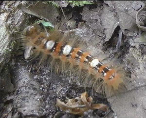 Banded hairy caterpillar