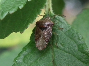 is this a Green Shieldbug in hibernation colours?