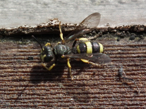 which solitary wasp?