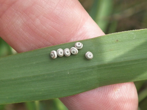 are these Gorse Shieldbug eggs?