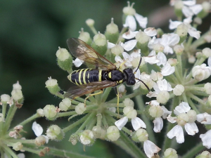 which sawfly?