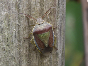 Is this a Gorse Shieldbug?