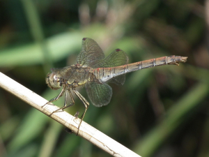 Is this a Vagrant Darter?