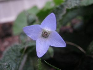Slender Borage with 4 petals!
