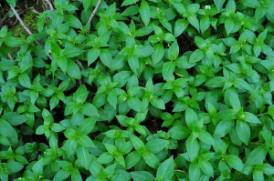 Dogs Mercury?