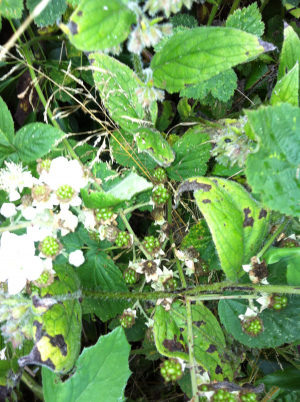 Bramble in flower with early berries forming